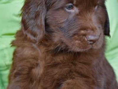 "Cucciolata ""A"" Flat Coated Retriever"