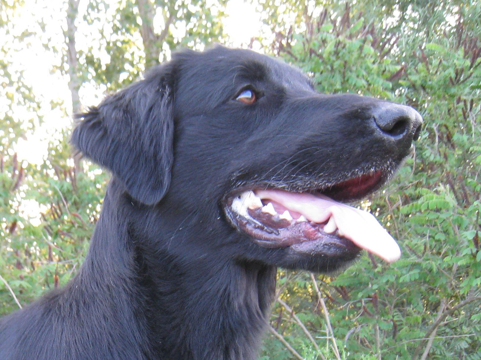 It.J.Ch Royal Silk Pizza Prosciutto e Funghi aka Junior Flat Coated Retriever Nero