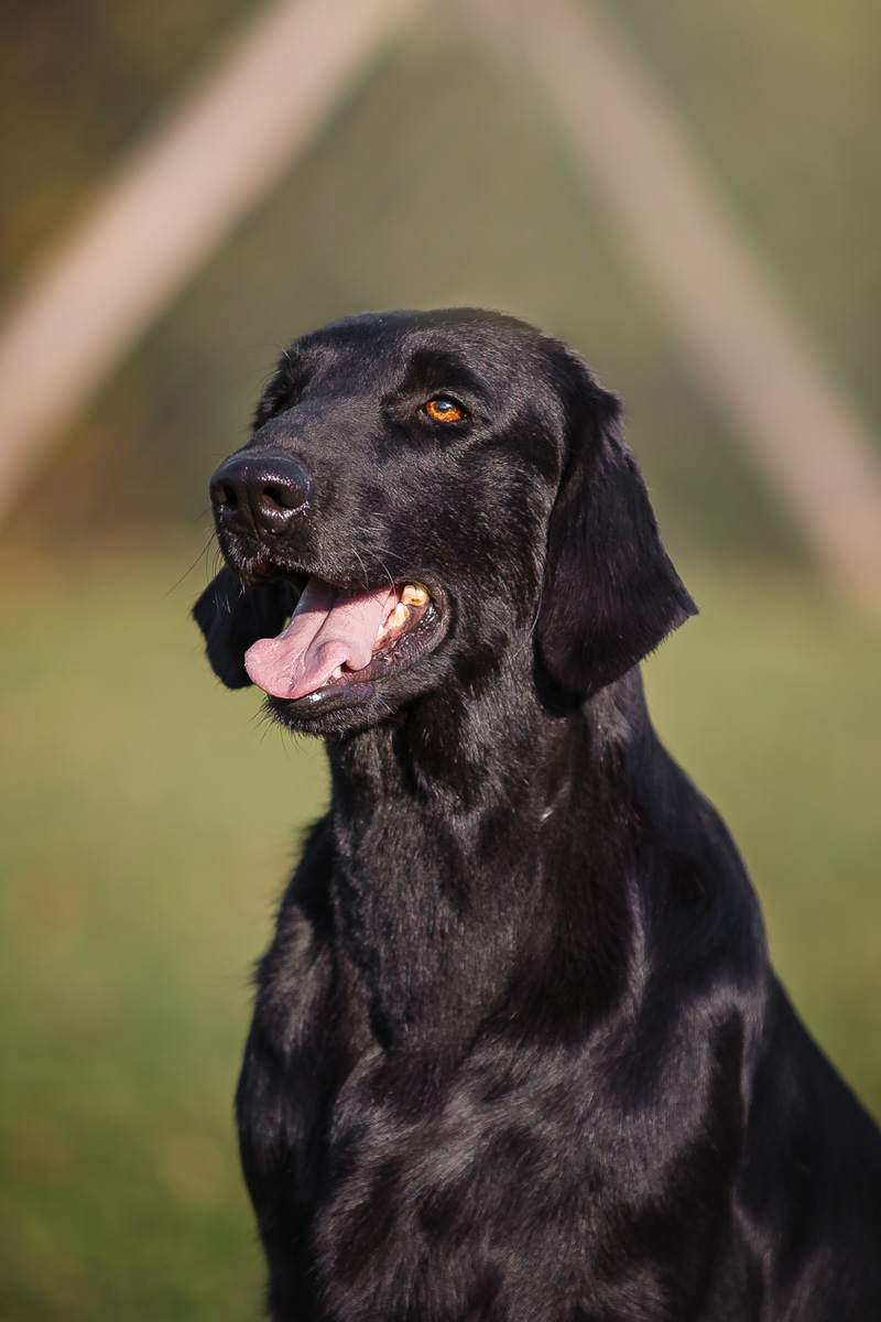 Ashley aka Ashley Flat Coated Retriever Nera