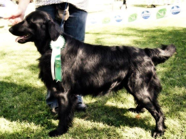 Royal Silk Jingle Bell Swing aka Soren Flat Coated Retriever Nero