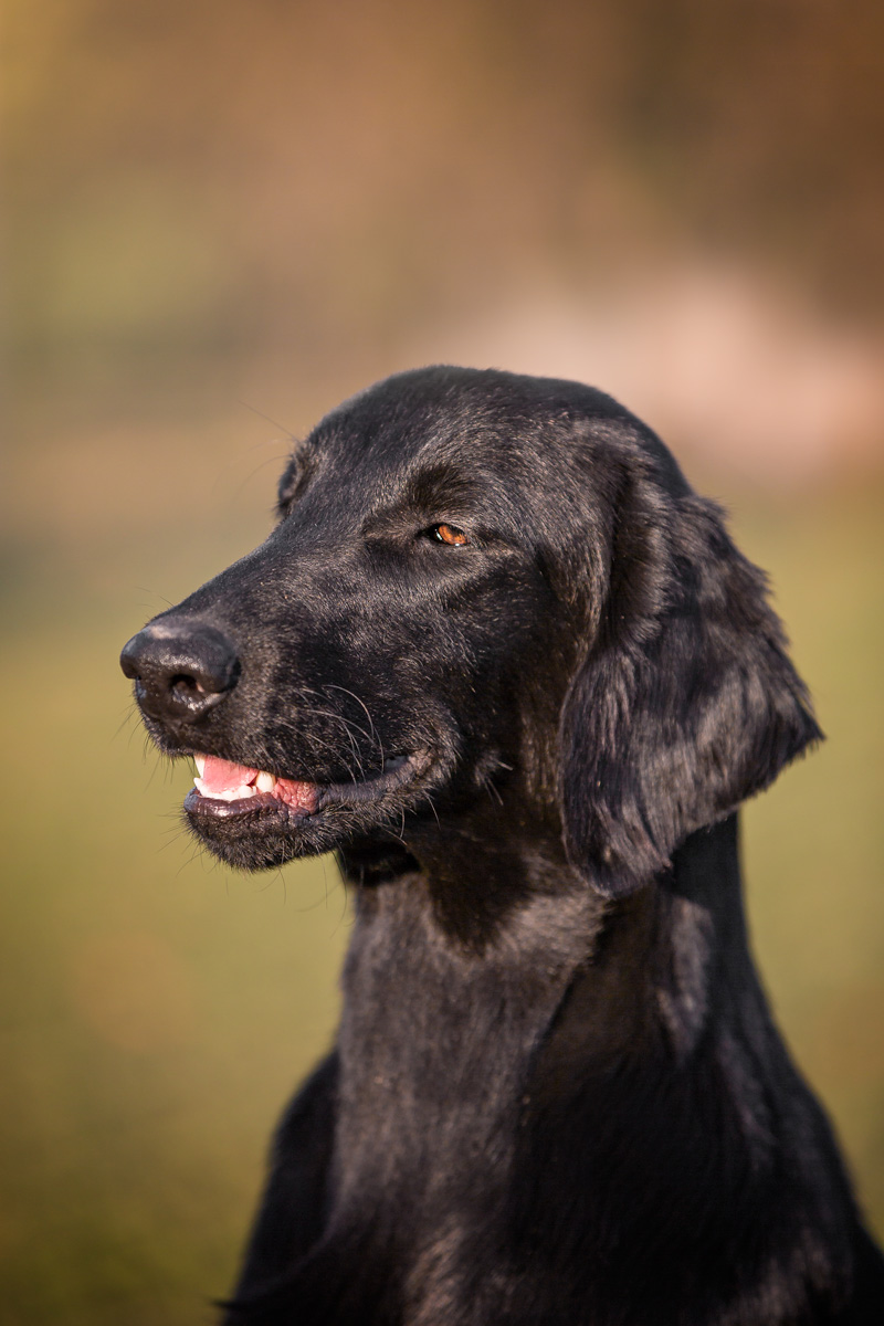 It.J.Ch Criselle aka Joy - Flat Coated Retriever